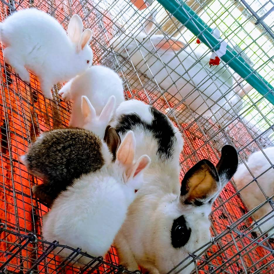 Foreign Rabbits