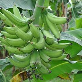 Giant Hybrid plantain sucker