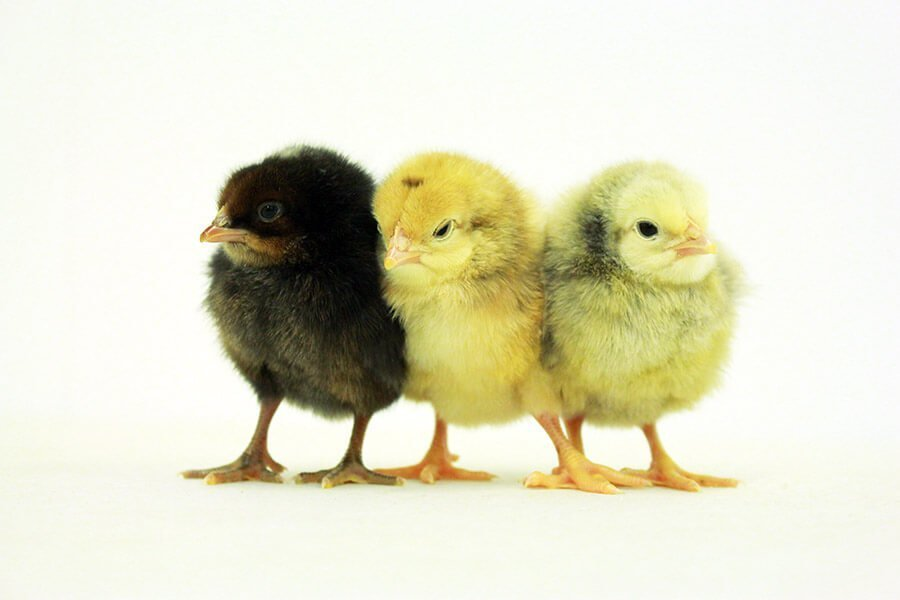 AMO Noilers (Day-Old Chicks)